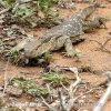 White-throated Monitor