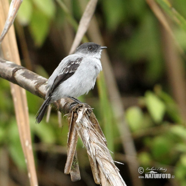 Torrent Tyrannulet (Serpophaga cinerea)