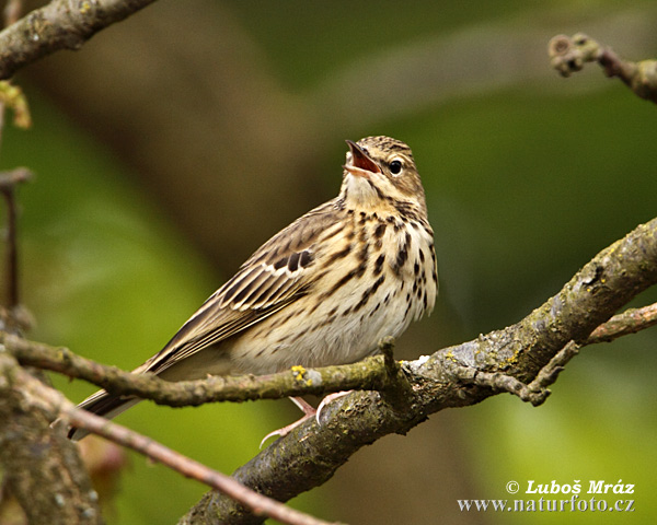 Tree Pipit (Anthus trivialis)