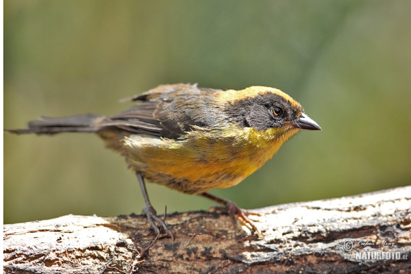 Tricolored Brush-Finch (Altapetes trocolor)