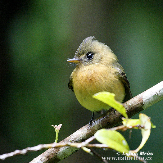 Tufted Flycatcher (Mitrephanes phaeocercus)