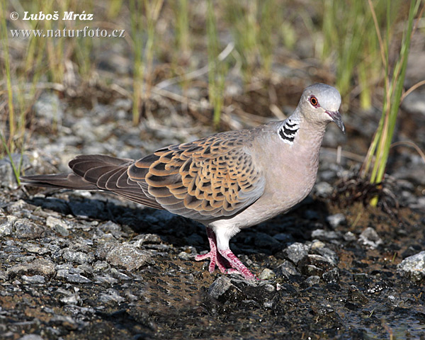 Turtle dove Photos, Turtle dove Images | Photobank NaturePhoto-