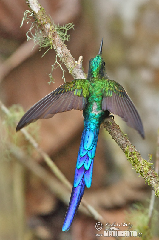 Violet-tailed Sylph (Aglaiocercus coelestis)