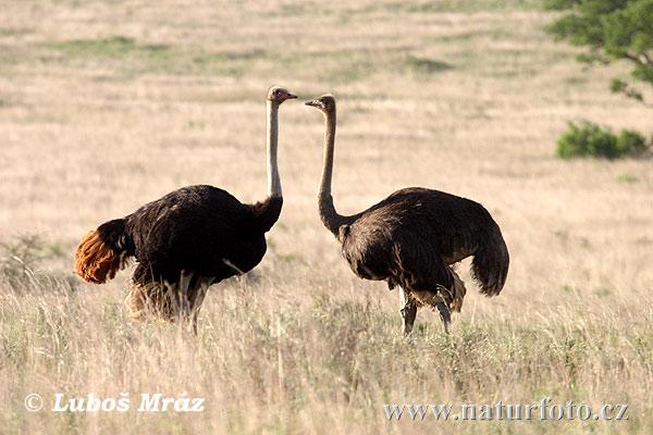 Volstruis   Alternative Names: English (Rob 6): Ostrich