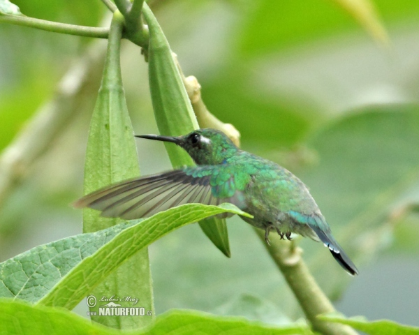 Wedge-billed Hummingbird (Schistes geoffroyi)