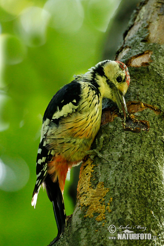 White-backed Woodpecker (Dendrocopos leucotos)