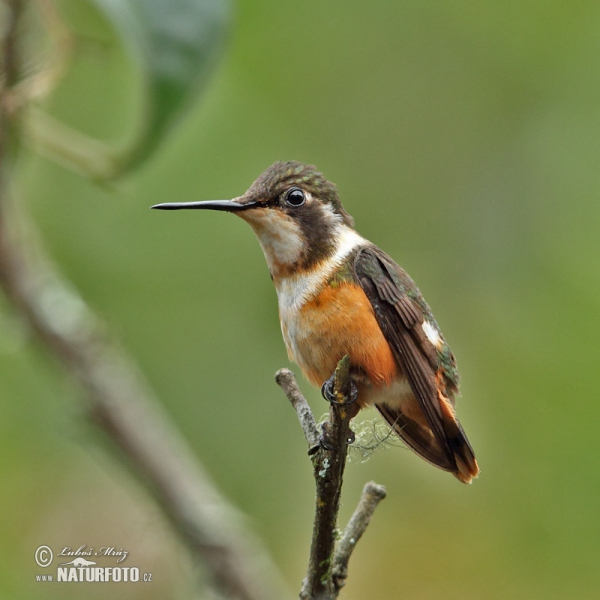 White-bellied Woodstar (Chaetocercus mulsant)