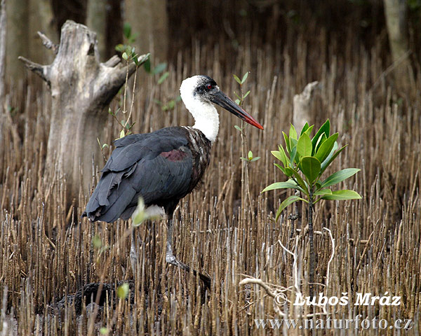 White-necked Stork (Ciconia episcopus)
