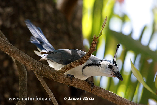 White-throated Magpie-Jay (Calocitta formosa)