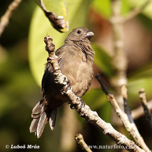 Wing-barred Seedeater (Sporophila americana)