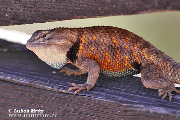 Yellow-backed Spiny lizard (Sceloporus magister uniformis)