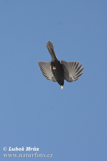 Yellow-billed Chough (Pyrrhocorax graculus)