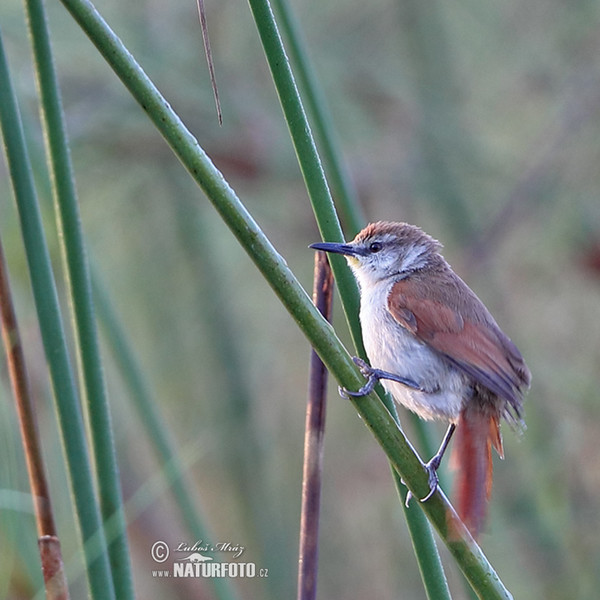 Yellow-chinned Spinetail (Certhiaxis cinnamomeus)