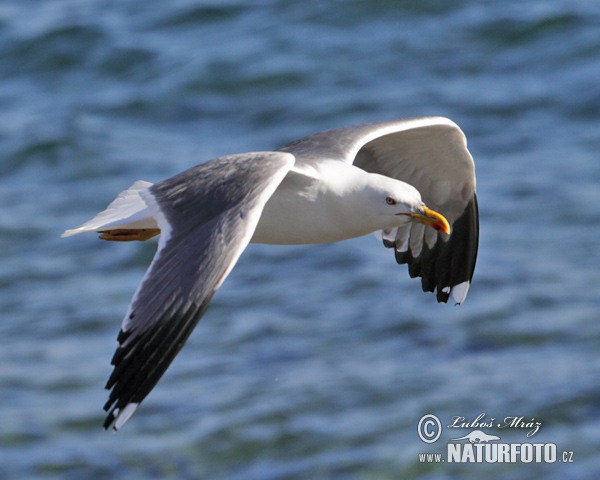 Yellow-legged Gull (Larus cachinnans atlantis)