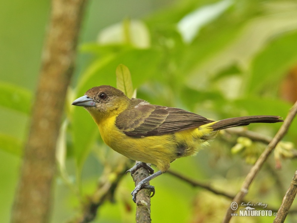 Yellow-rumped Tanager (Ramphocelus icteronotus)