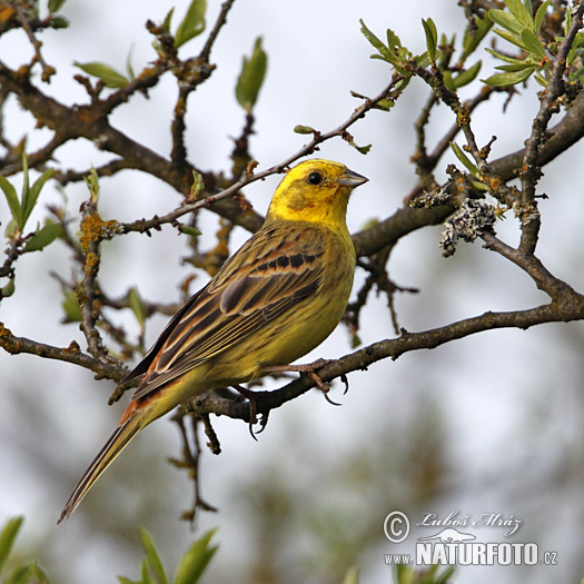 Yellowhammer (Emberiza citrinella)