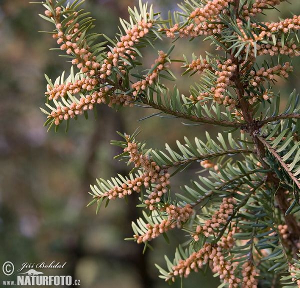 Ίταμος φυτό ( taxus baccata )