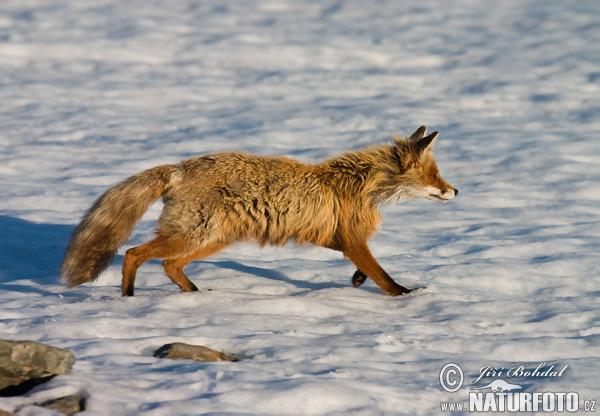 Κόκκινη αλεπού ( vulpes vulpes )