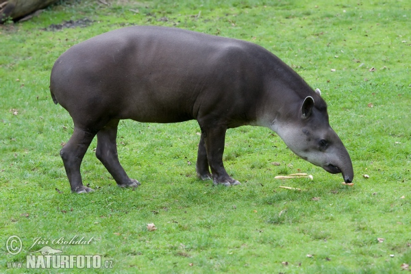 アメリカバク アメリカバク (Tapirus terrestris)  アメリカバク 、写真