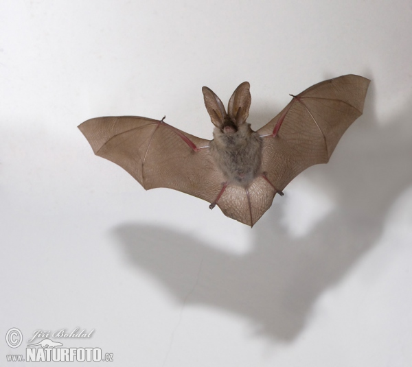 コウモリの画像 p1_5