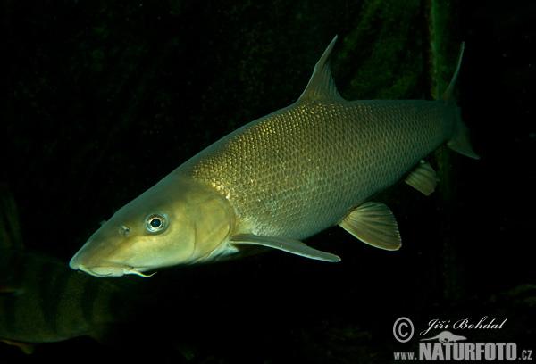 バーベル 魚 、写真
