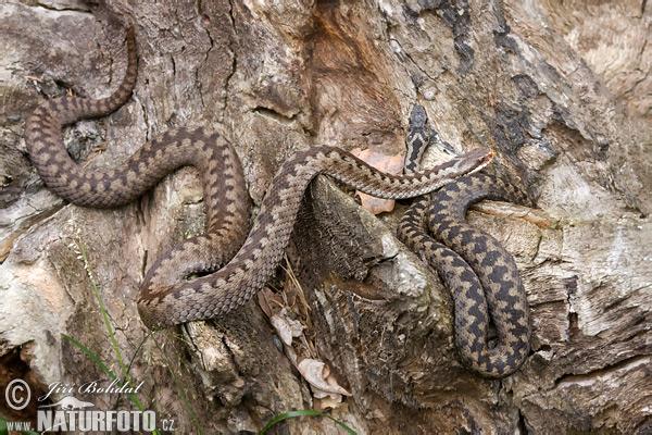 ヨーロッパクサリヘビ