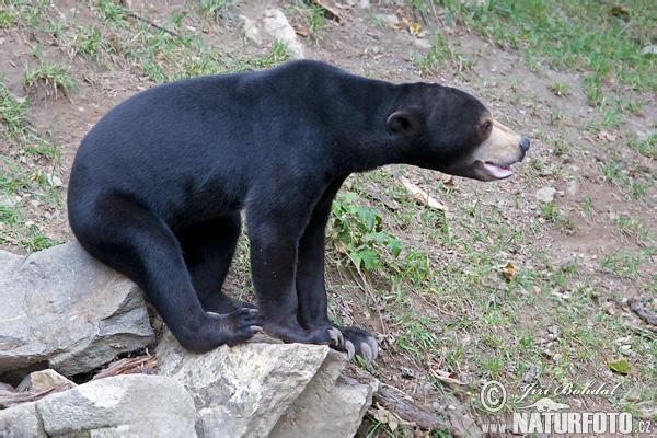 马来熊 照片,圖片