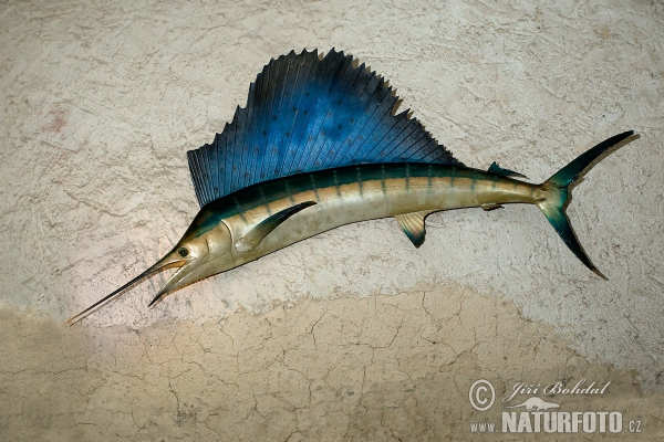 Atlantic Sailfish (Istiophorus platypterus)