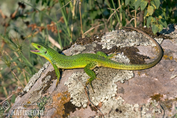 Balkan Green Lizard (Lacerta trilineata)