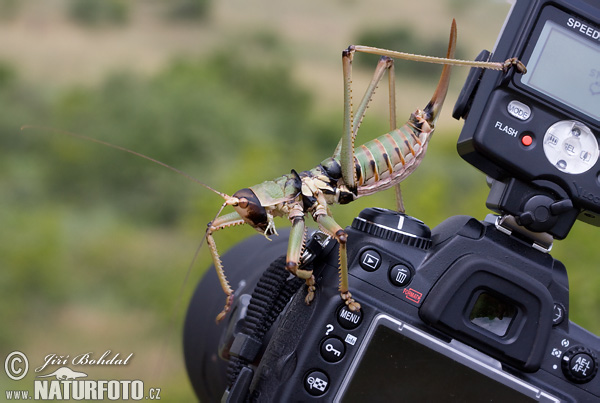 Balkan Sawing Cricket (Saga natoliae)