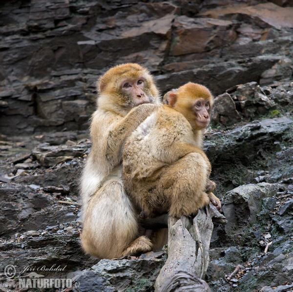 buona notte dans immagini buon...notte, giorno barbary-macaque-65924