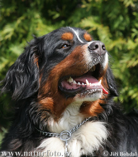 Bernese Mountain Dog (Canis lupus familiaris)