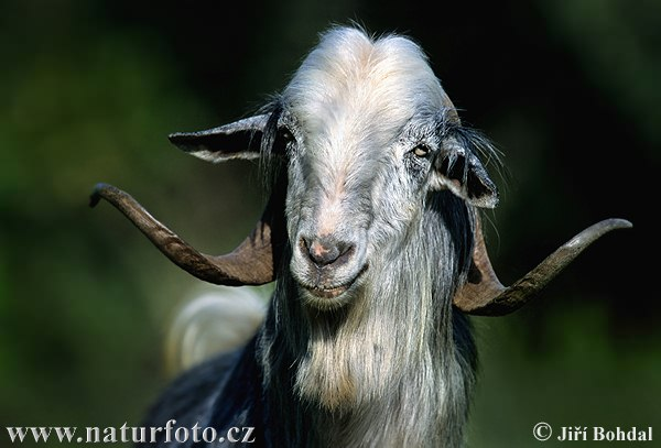 Billy-goat (praticamente una capra, ma Billy...boh!...la specie?) dans animali ed animaletti billy-goat-270