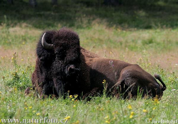 Bison d 39 am rique du nord photographie - Coloriage bison d amerique ...