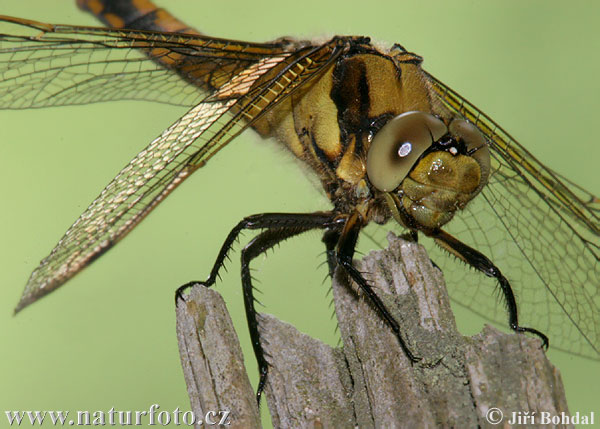 Black-tailed Skimmer F (Orthetrum cancellatum)