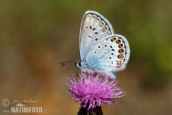 Blue Butterfly (Polyommatus sp.)