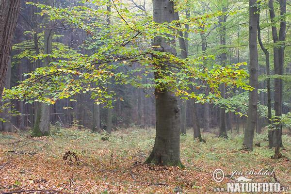 Bok träd Foton, Fotografi