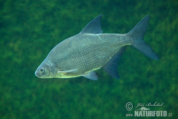 Bream (Abramis brama)
