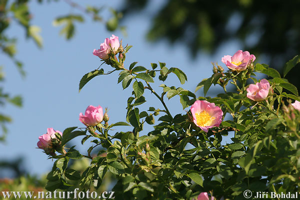 Brier Rose (Rosa canina)