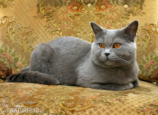 British Blue Cat (Felis britannica)