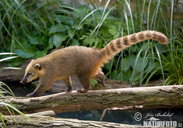 http://www.naturephoto-cz.com/photos/others/brown-nosed-coati,-south-american-coati-75084.jpg