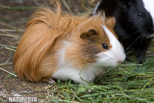 how to call a guinea pig a name eating