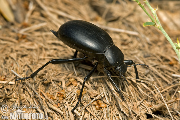 Cellar Beetle (Blaps sp.)