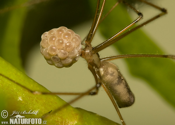 Cellar Spider (Pholcus phalangioides)