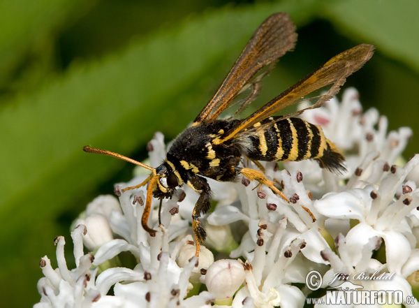 Clearwing Moth (Chamaesphecia sp.)