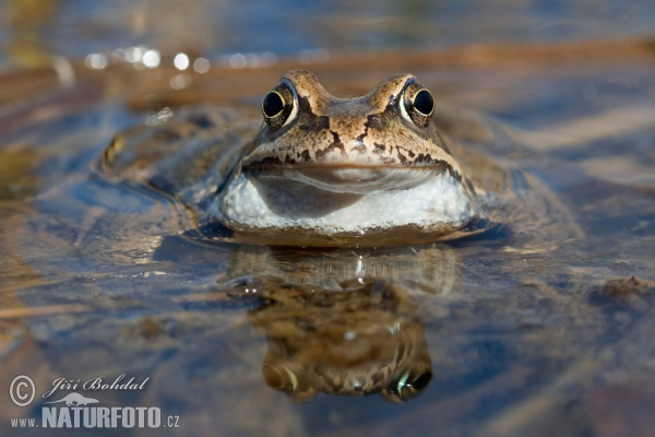 Common Grass Frog (Rana temporaria)