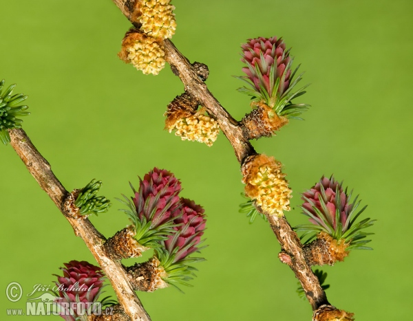 Common Larch (Larix decidua)