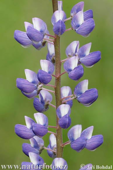 Common Lupine