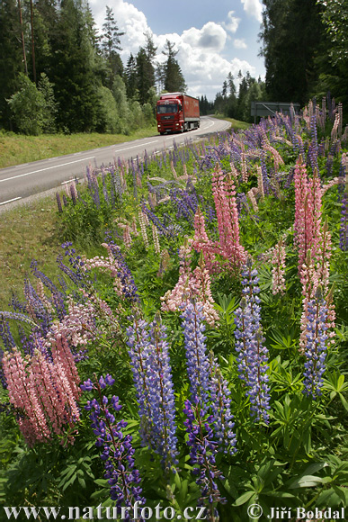 Wild Lupine Flowers Crown