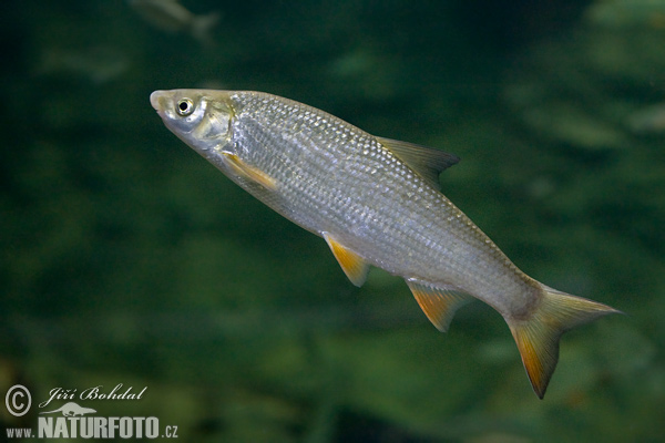 Common Nase (Chondrostoma nasus)